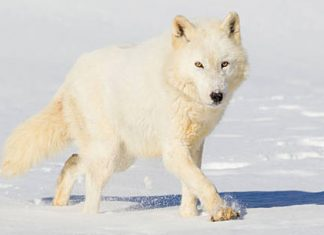 loup-blanc-arctique